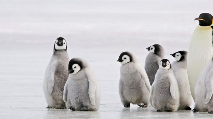 πιγκουίνων