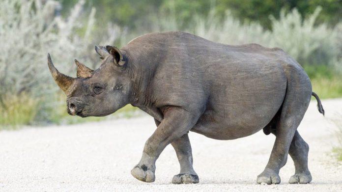 μαύροι-ρινόκεροι