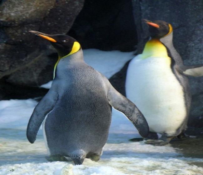 Αυτός ο πιγκουίνος είναι ο πιο αξιολάτρευτος
