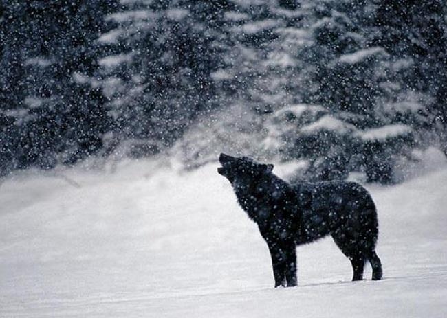 Λύκος Μαύρος και Λιγνός